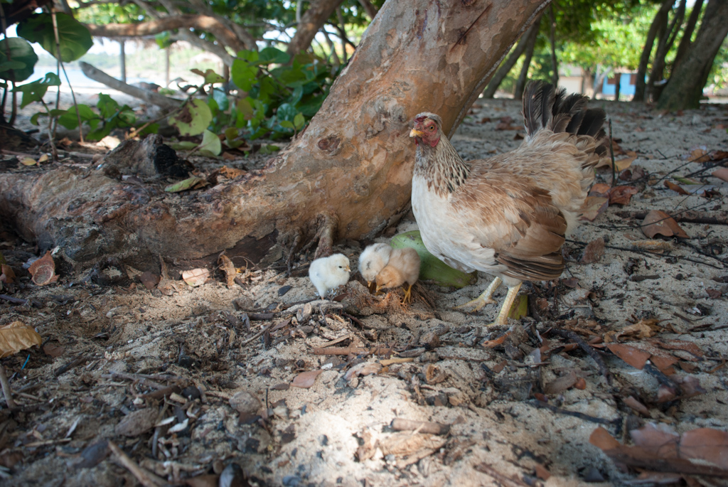 Strandhühner
